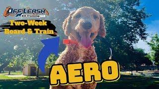"1-Year-Old Goldendoodle ""Aero"" 
