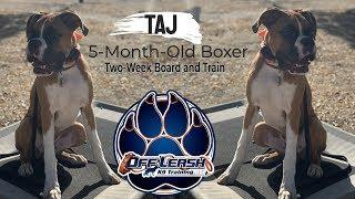 "5-Month-Old Boxer ""Taj"" 