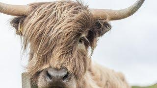 Highland Cow Acrylic Painting LIVE Tutorial
