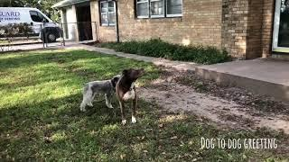 Bobo the Schnauzer 2 Week Board and Train Live Well Dog Training Wichita, KS